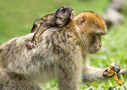 A baby monkey riding on its mother
