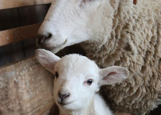 Picture of sheep with lamb